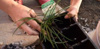 Planting some Mondo grass between paving