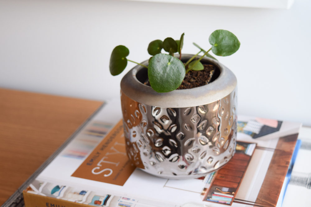 Pilea plant reasons why you're killing your indoor plants