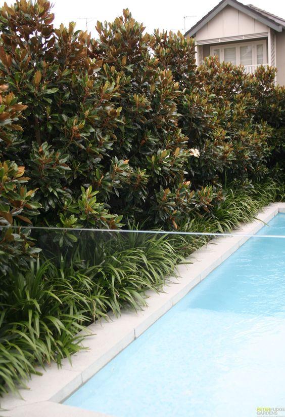Evergreen magnolia hedge