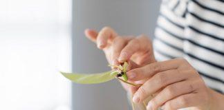 Pothos plant cutting