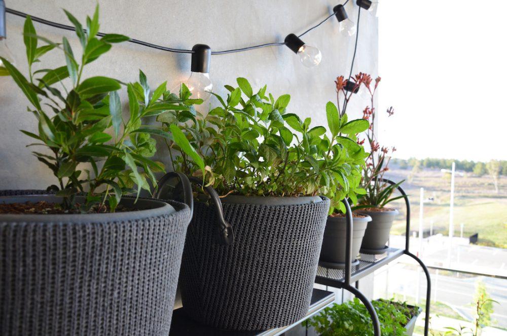 Herbs in garden pots