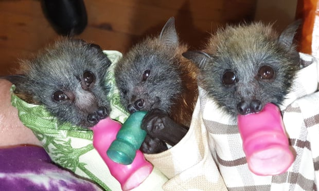 Bat wraps The Guardian Shoalhaven Bat Clinic and Sanctuary