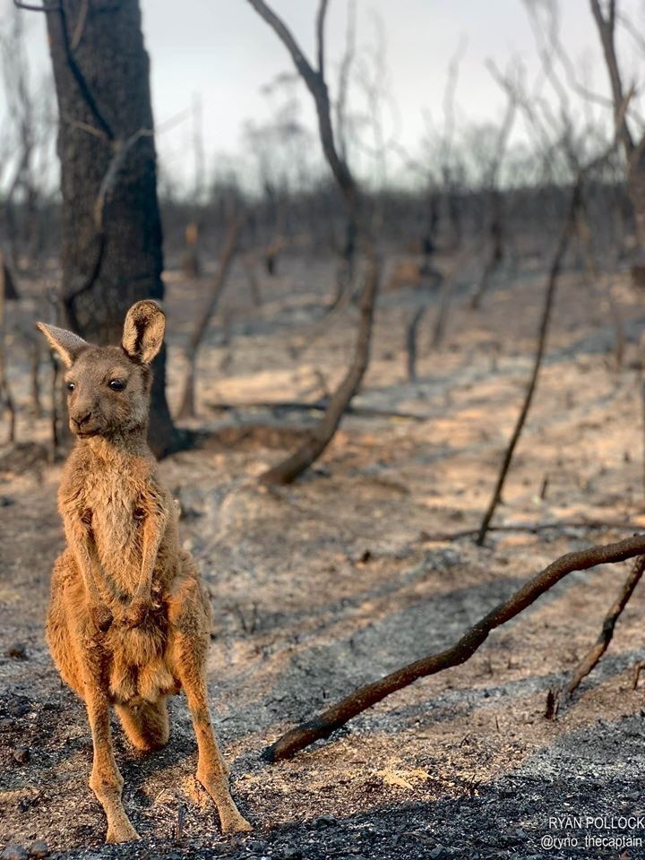 Kangaroo in bushfire area Oscars Law