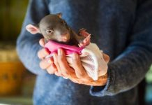 Marsupial pouches via ABC and TheRescueCollective