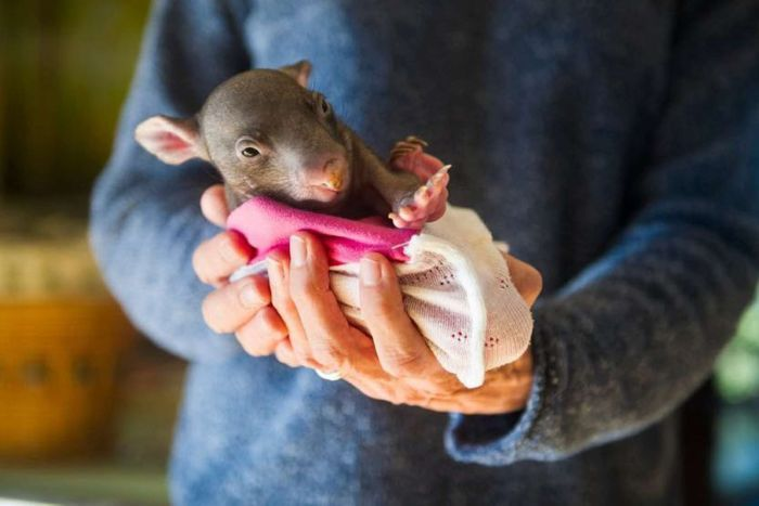 Marsupial pouches via ABC and TheRescueCollective DIY projects to help wildlife