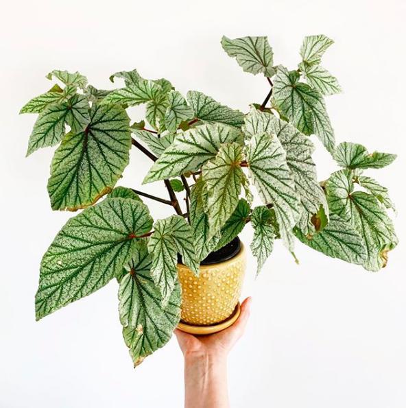 Begonia_amandaraewright