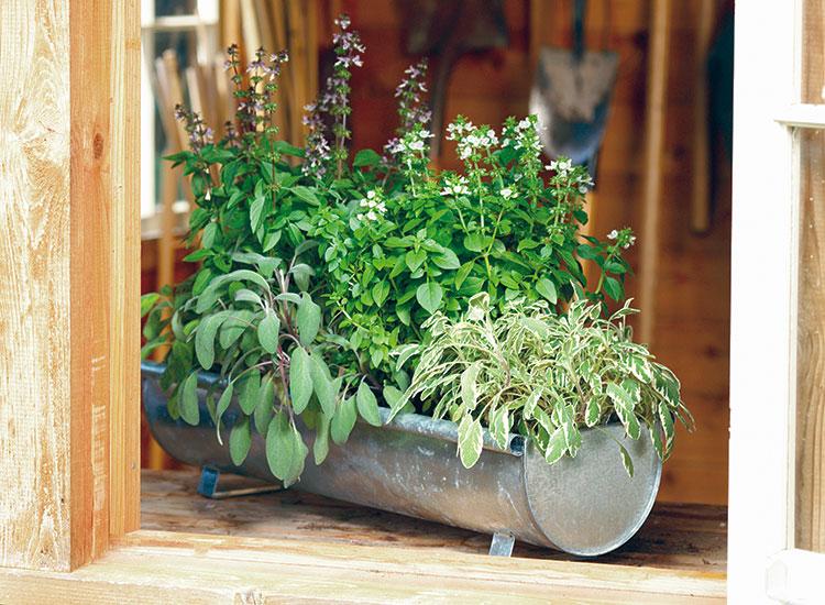 Herbs_gardengatemagazine