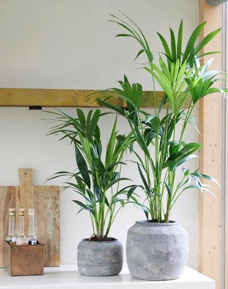 Kentia palm via leave.and.living