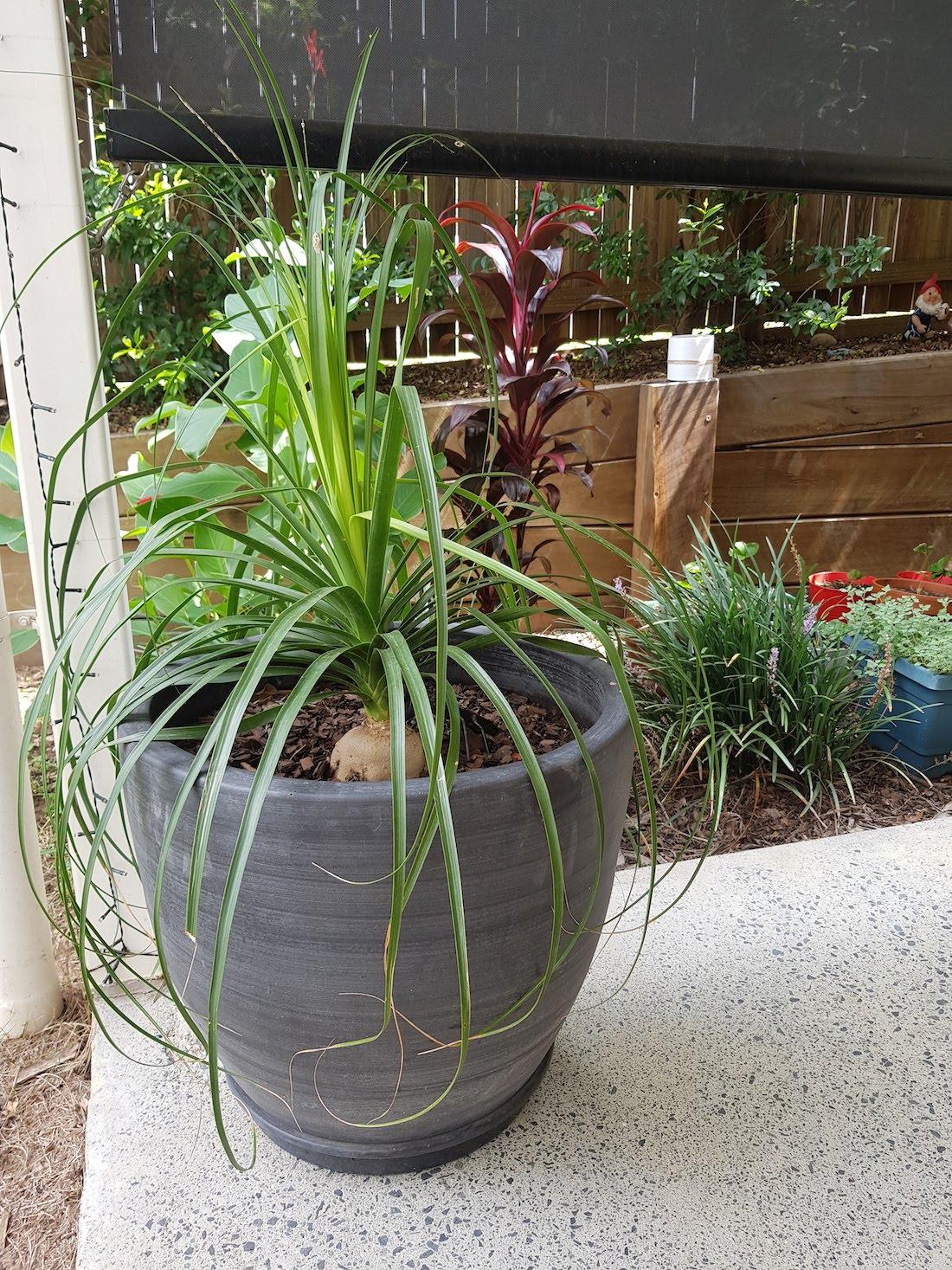 Ponytail_plant