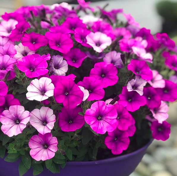 Potted colour_petunias