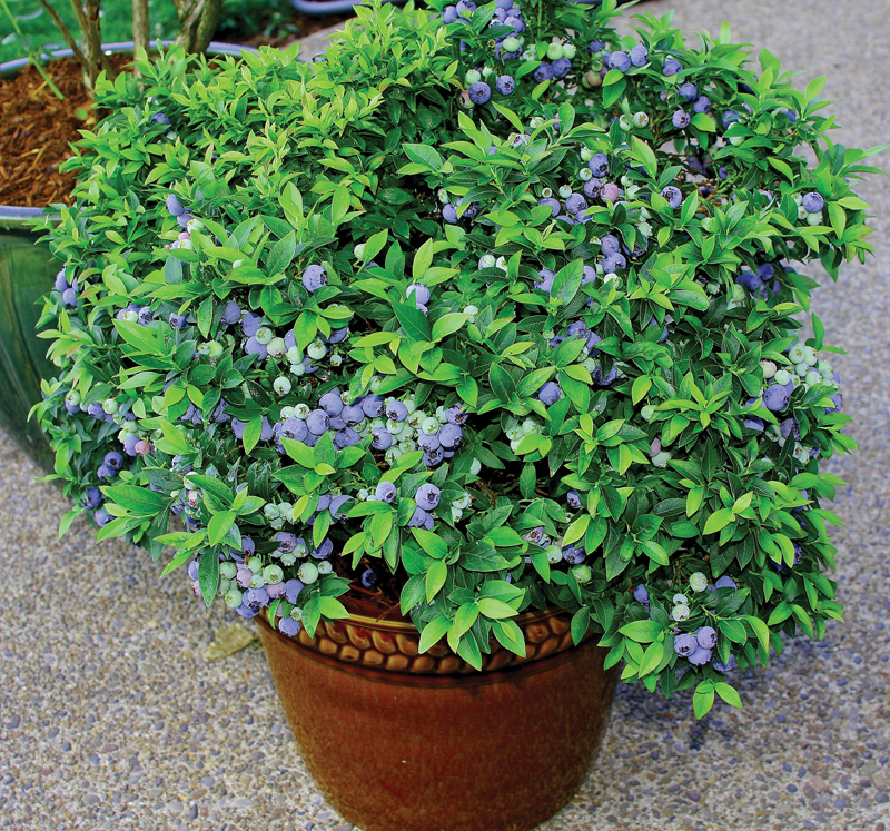 blueberries-in-container