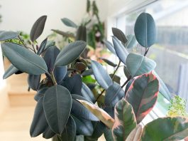 Rubber plant feature