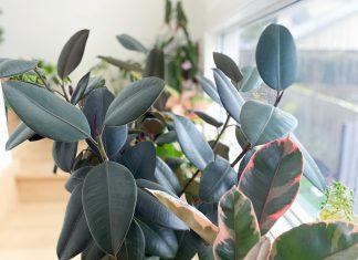 Rubber plant feature