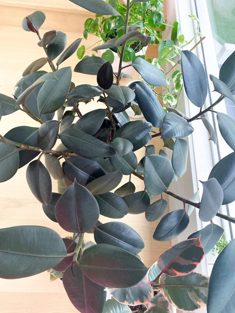Rubber plant from above