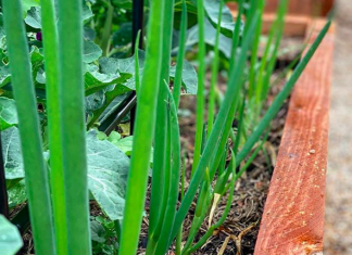Spring onions in garden bed