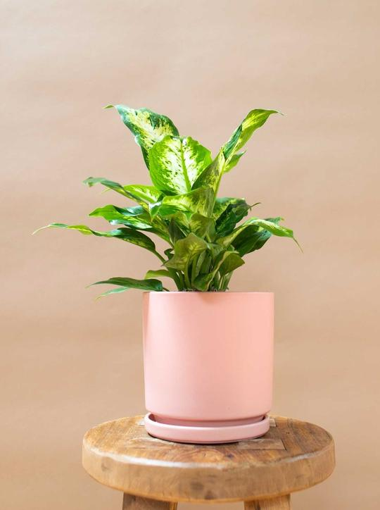 Dumb cane leopard lily in pink pot