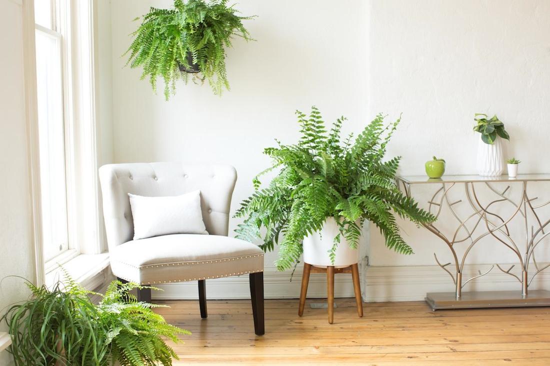 Boston fern in hanging pot