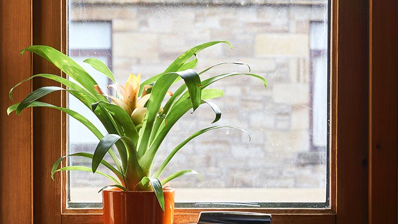 Bromeliad on windowsill