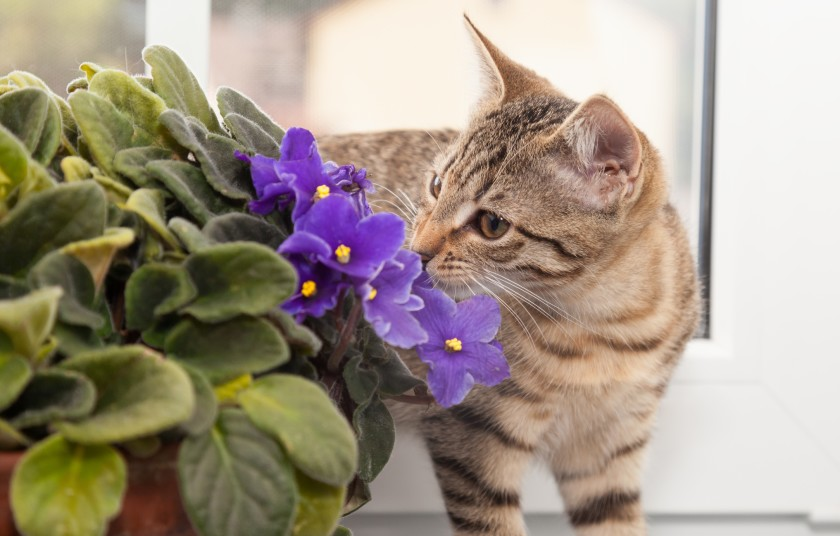 Cat and violet plant