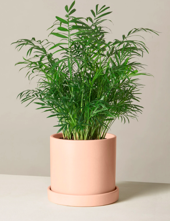 Parlor Palm in blush pink pot